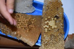 BPMiGRadkow Pszczoly Scinawka Dolna00036