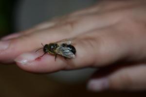 BPMiGRadkow Pszczoly Scinawka Dolna00047