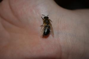 BPMiGRadkow Pszczoly Scinawka Dolna00050